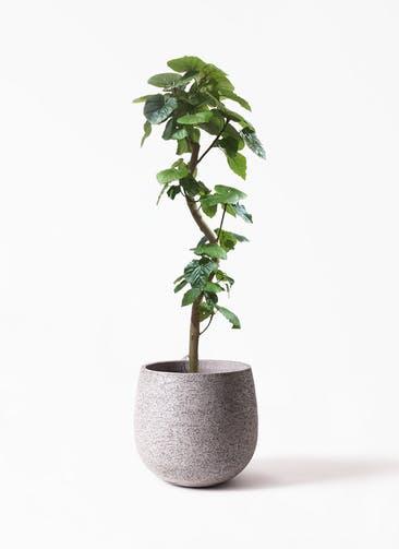 観葉植物 フィカス ウンベラータ 10号 曲がり  Eco Stone(エコストーン) Gray 付き