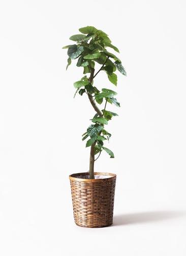 観葉植物 フィカス ウンベラータ 10号 曲がり 竹バスケット 付き