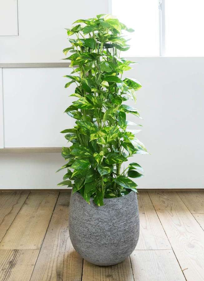 観葉植物 ポトス 8号 エコストーンGray 付き