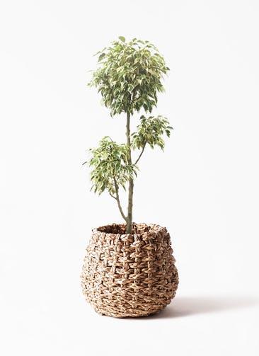 観葉植物 フィカス ベンジャミン 7号 斑入り チラシ LushBasket(ラッシュバスケット) 付き