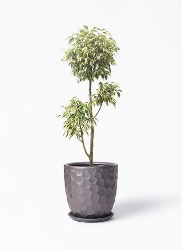 観葉植物 フィカス ベンジャミン 7号 斑入り チラシ サンタクルストール ブロンズ 付き
