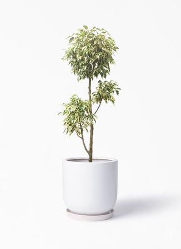 観葉植物 フィカス ベンジャミン 7号 斑入り チラシ アファール 白 付き