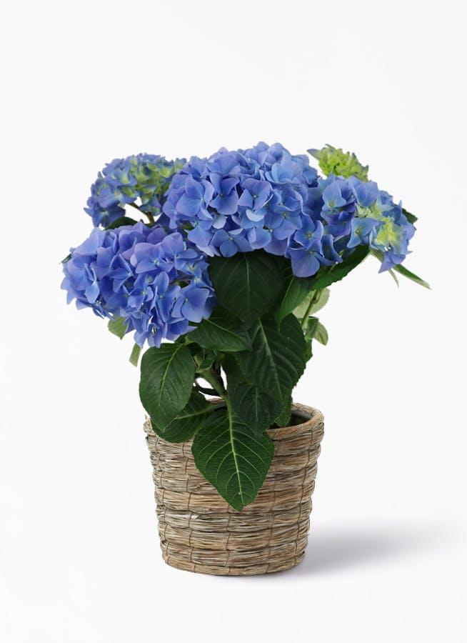 【母の日ギフト】鉢花 あじさい 5号 ブルーサンセット ラッシュバスケット【送料無料】
