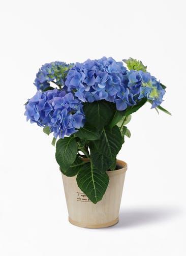 【母の日ギフト】鉢花 あじさい 5号 ブルーサンセット ウッドポット