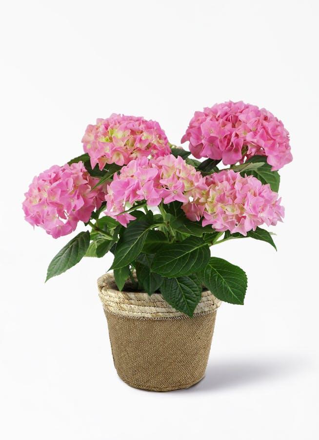 【母の日ギフト】鉢花 あじさい 5号 ピンクセット リネンバスケット【送料無料】