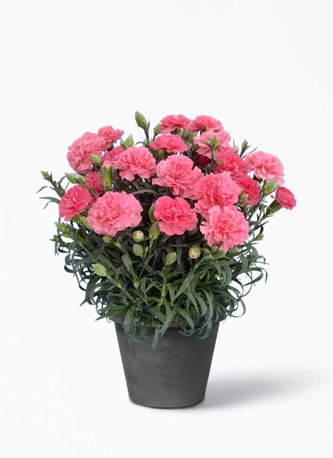 【母の日ギフト】鉢花 カーネーション 5号 クレア ブラックポット【送料無料】