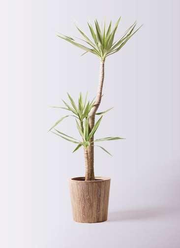 観葉植物 ユッカ 10号 斑入り ウッドプランター 付き