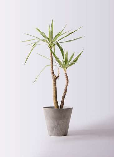 観葉植物 ユッカ 8号 斑入り アートストーン ラウンド グレー 付き