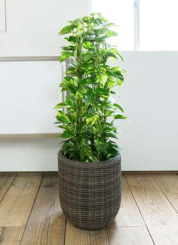 観葉植物 ポトス 8号 ウィッカーポット エッグ NT 茶 付き