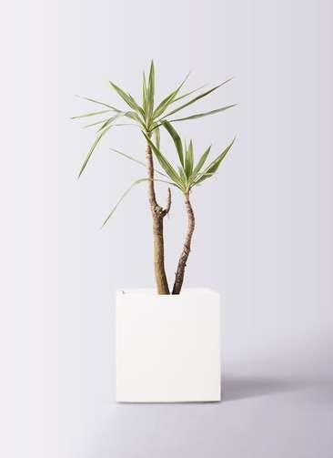 観葉植物 ユッカ 8号 斑入り バスク キューブ 付き