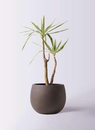 観葉植物 ユッカ 8号 斑入り テラニアス ローバルーン アンティークブラウン 付き
