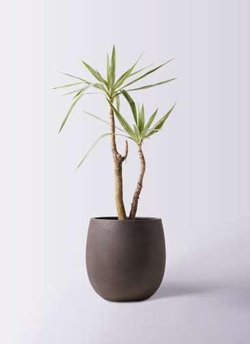 観葉植物 ユッカ 8号 斑入り テラニアス バルーン アンティークブラウン 付き