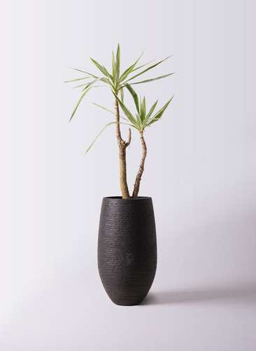 観葉植物 ユッカ 8号 斑入り フォンティーヌトール 黒 付き
