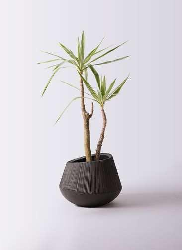 観葉植物 ユッカ 8号 斑入り エディラウンド 黒 付き