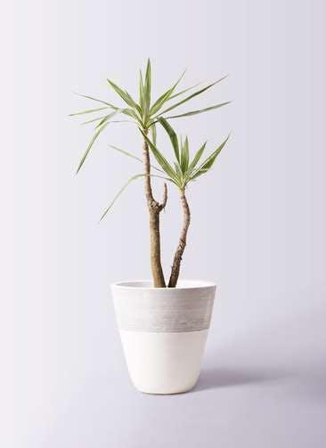 観葉植物 ユッカ 8号 斑入り ジュピター 白 付き