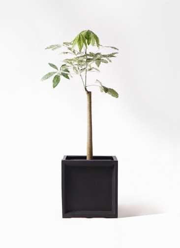 観葉植物 パキラ 8号 朴 斑入り ブリティッシュキューブ 付き