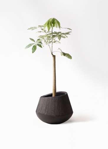 観葉植物 パキラ 8号 朴 斑入り エディラウンド 黒 付き