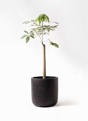 観葉植物 パキラ 8号 朴 斑入り エルバ 黒 付き