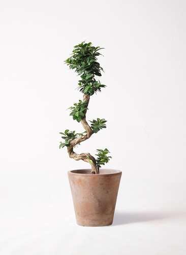 観葉植物 ガジュマル 8号 曲り ルーガ アンティコ ソリッド 付き