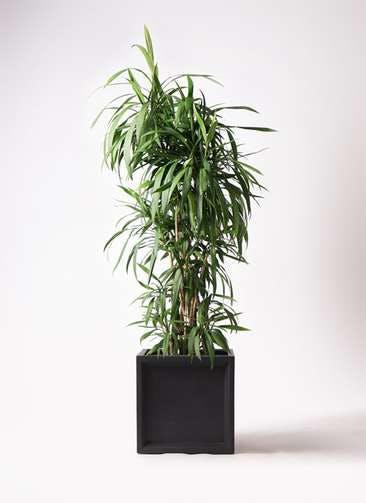観葉植物 コルディリネ (コルジリネ) ストリクタ 10号 ブリティッシュキューブ 付き