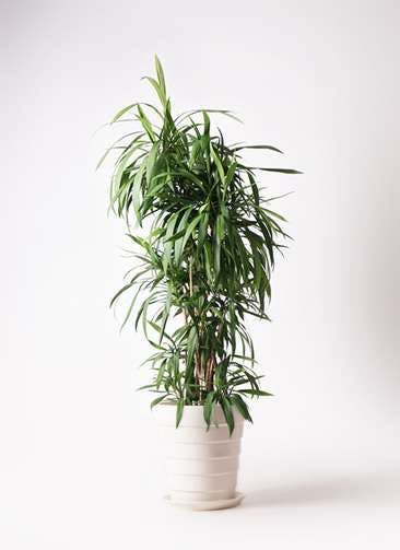 観葉植物 コルディリネ (コルジリネ) ストリクタ 10号 10号 サバトリア 白 付き