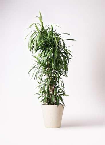 観葉植物 コルディリネ (コルジリネ) ストリクタ 10号 フォリオソリッド クリーム 付き
