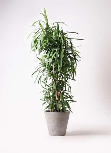 観葉植物 コルディリネ (コルジリネ) ストリクタ 10号 アートストーン ラウンド グレー 付き