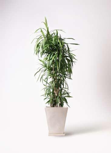 観葉植物 コルディリネ (コルジリネ) ストリクタ 10号 10号 スクエアハット 白 付き