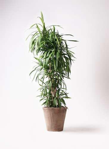 観葉植物 コルディリネ (コルジリネ) ストリクタ 10号 ルーガ アンティコ ソリッド 付き