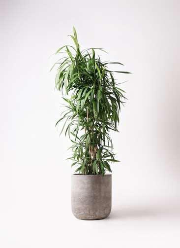 観葉植物 コルディリネ (コルジリネ) ストリクタ 10号 エルバ 白 付き