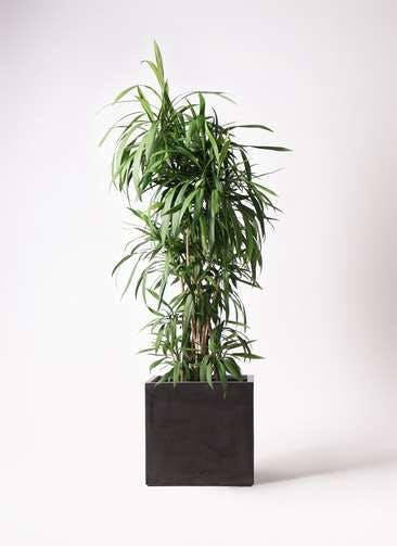 観葉植物 コルディリネ (コルジリネ) ストリクタ 10号 ファイバークレイ キューブ 付き