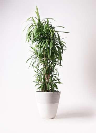 観葉植物 コルディリネ (コルジリネ) ストリクタ 10号 ジュピター 白 付き