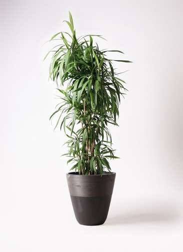 観葉植物 コルディリネ (コルジリネ) ストリクタ 10号 ジュピター 黒 付き