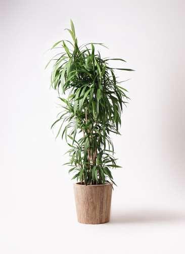 観葉植物 コルディリネ (コルジリネ) ストリクタ 10号 ウッドプランター 付き