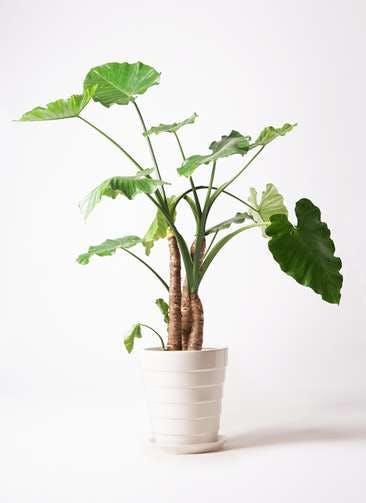 観葉植物 クワズイモ 10号 サバトリア 白 付き