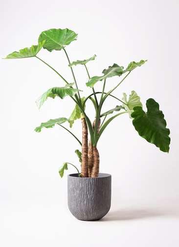 観葉植物 クワズイモ 10号 カルディナダークグレイ 付き