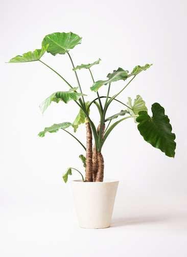 観葉植物 クワズイモ 10号 フォリオソリッド クリーム 付き