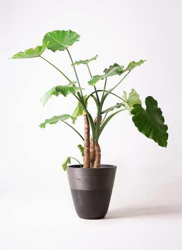 観葉植物 クワズイモ 10号 ジュピター 黒 付き