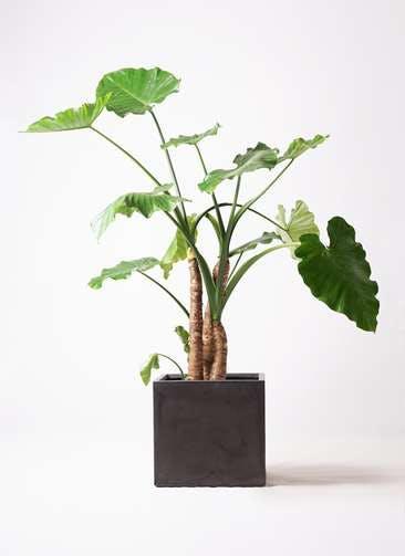 観葉植物 クワズイモ 10号 ファイバークレイ キューブ 付き