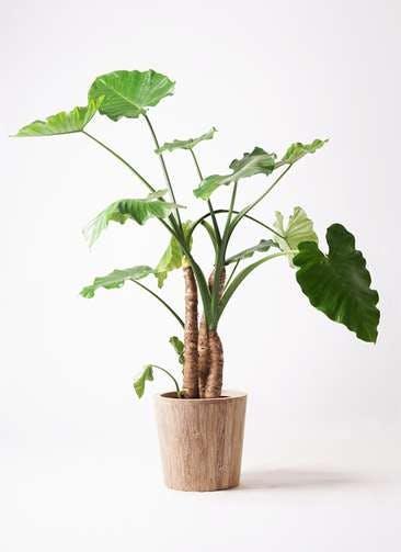 観葉植物 クワズイモ 10号 ウッドプランター 付き