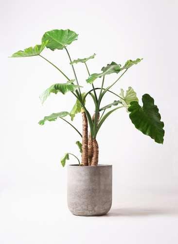 観葉植物 クワズイモ 10号 エルバ 白 付き