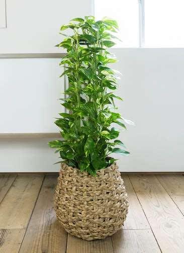 観葉植物 ポトス 8号 ラッシュバスケット Natural 付き