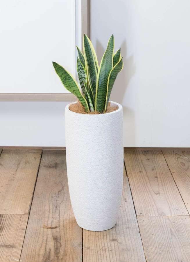 観葉植物 サンスベリア 6号 トラノオ エコストーントールタイプ white 付き