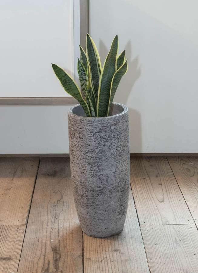 観葉植物 サンスベリア 6号 トラノオ エコストーントールタイプ Gray 付き