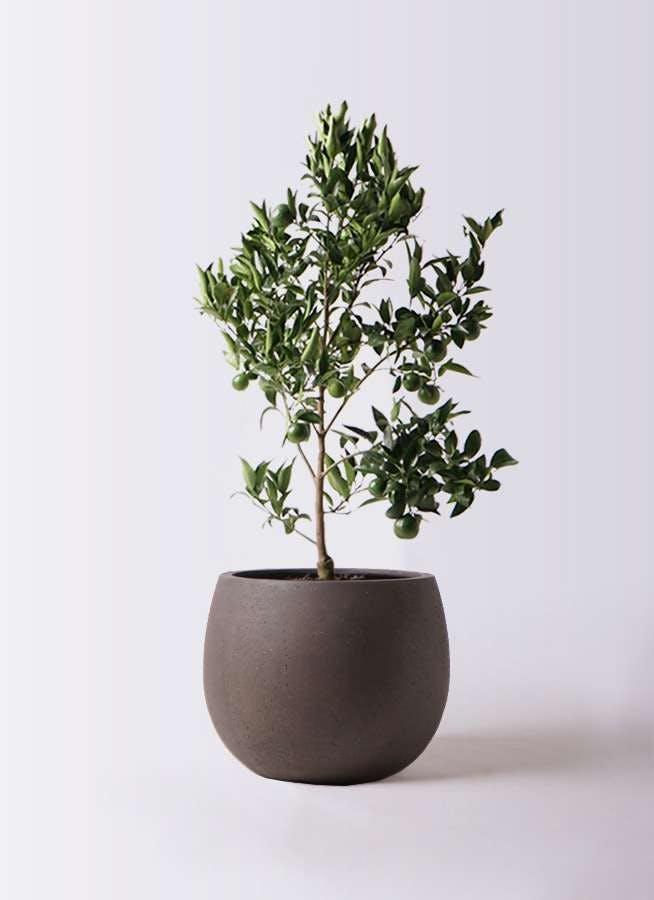 ぽんかん (ポンカン)の木 8号 テラニアス ローバルーン アンティークブラウン 付き