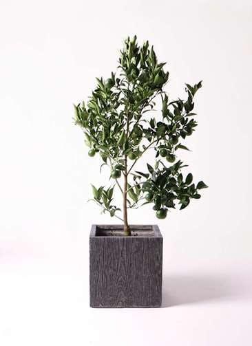 ぽんかん (ポンカン)の木 8号 ベータ キューブプランター ウッド 茶 付き