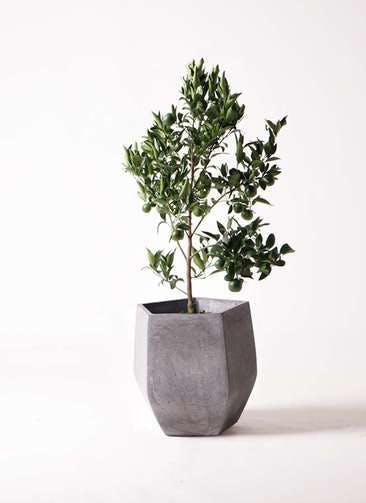 ぽんかん (ポンカン)の木 8号 ファイバークレイ Gray 付き
