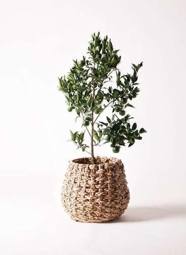 ぽんかん (ポンカン)の木 8号 ラッシュバスケット Natural 付き