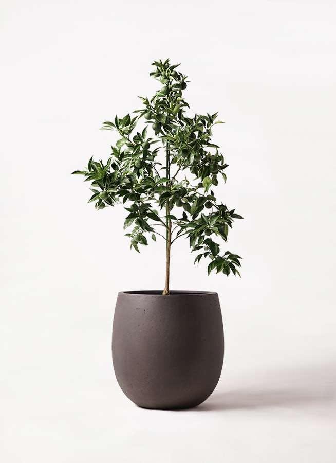 かぼすの木 8号 テラニアス バルーン アンティークブラウン 付き