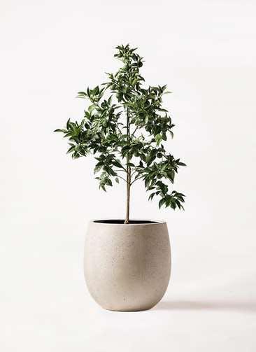 かぼすの木 8号 テラニアス バルーン アンティークホワイト 付き
